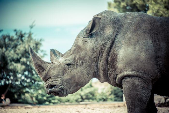 Larme de rhino
